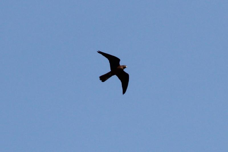 Falco eleonorae, dark form, near Cap Llebeitx, Island, Parc Naturel de sa Dragonera