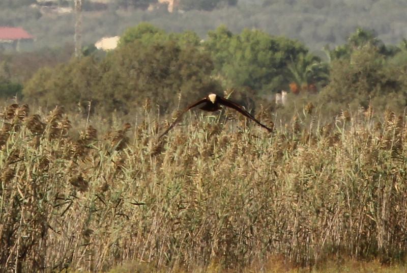 Circus aeruginosus, (NL: Bruine Kiekendief), Salobrar de Campo (MA6040)