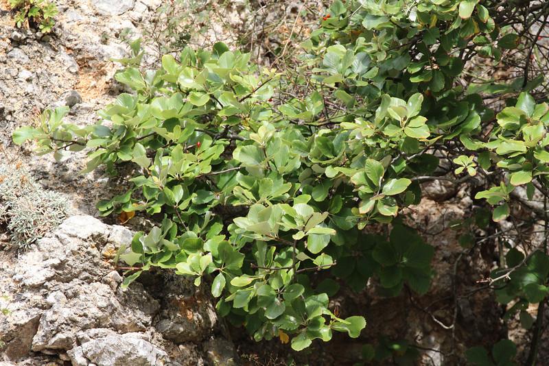 Sorbus aria, Masanella 1365m - GR 221 - Prat de Cúber 650m