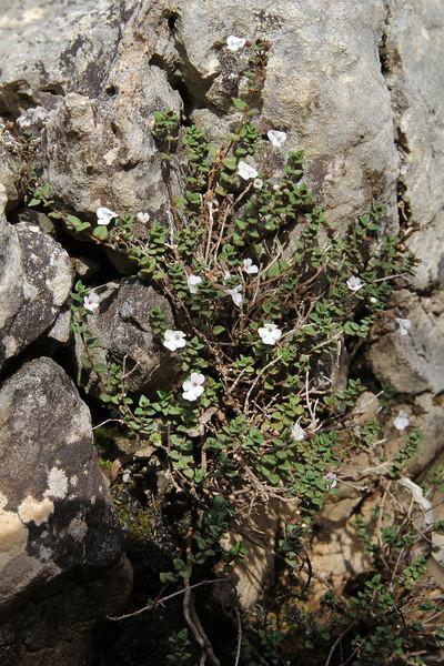 Micromeria filicaulis, Masanella 1365m - GR 221 - Prat de Cúber 650m
