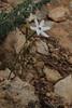 Narcissus obsoletus, Island, Parc Naturel de sa Dragonera, Liedó-des Liebeig