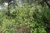 Myrtus communis, Recreation Area Memut 2, 500m E of Memut Binifaldo, Serra de Tramuntana, ca 1000m.