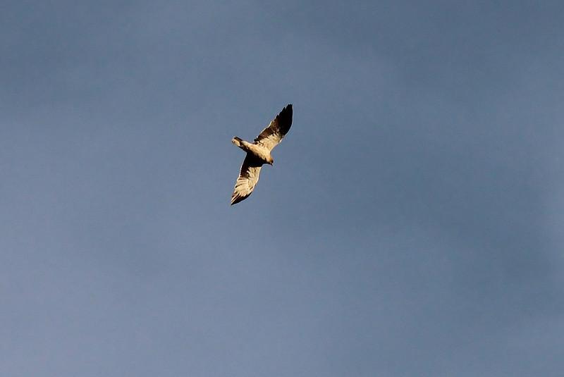 Hieraaetus pennatus - Booted Eagle, (NL:Dwergarend)(Between Col del Reis and Cala de sa Calobra)