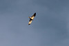 Hieraaetus pennatus - Booted Eagle, (NL:Dwergarend)(Between Col del Reis and Cala de sa Calobra)