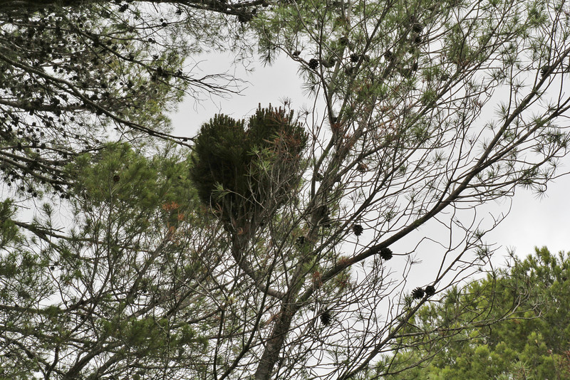 Pinus brutia ssp. halepensis with witches'-broom, Song Gual, ca100m