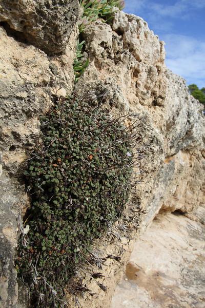 Limonium spec. Parque Natural Mondragó