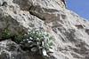 Helichrysum ambiguum, Prat de Cúber 650m - GR 221 - Masanella 1365m