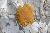 Caloplaca cf. dalmatica - (NL: Oranje citroenkorst) Determination lichens by Kok van Herk <br /> (Coll dels Reis, 682m)