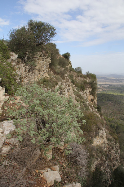 Lavatera maritima, Puig de Randa 542m, NE of Llucmajor