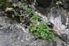 Cymbalaria aequitriloba ssp. aequitriloba, rocks near Col Reis 600m