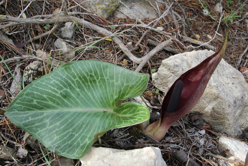 Arum pictum, Island, Parc Naturel de sa Dragonera, Liedó-des Liebeig