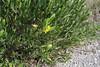 Cneorum tricoccon, Col Reis 600m