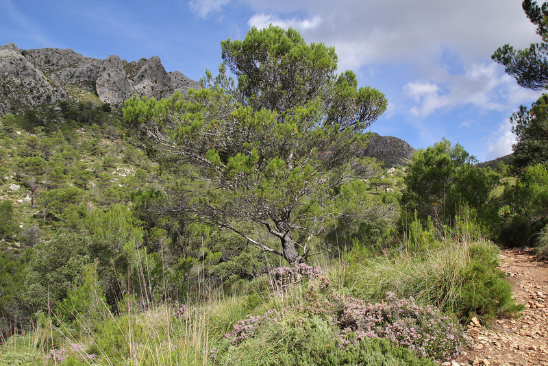 Pinus brutia ssp. halepensis, Prat de Cúber 650m - GR 221 - Masanella 1365m