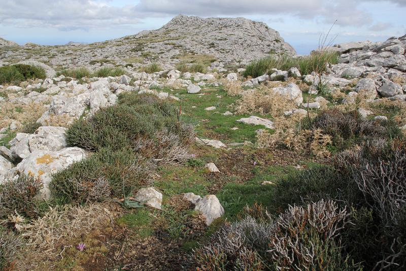 Colchicum filifolium (syn. Merendera filifolia), Masanella 1365m