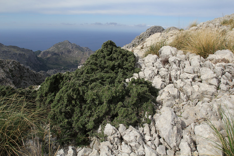 Quercus coccifera, Kermes Oak, Col Reis 600m
