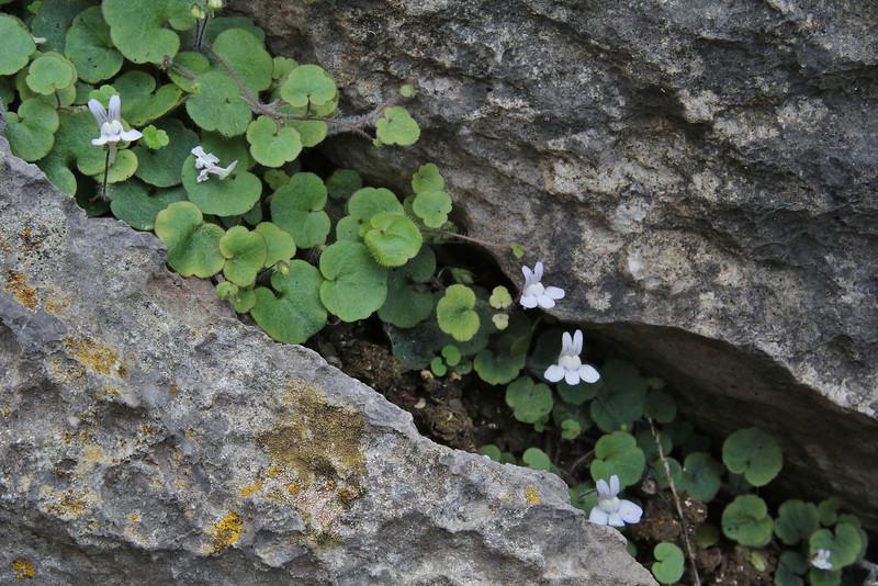Cymbalaria aequitriloba ssp. aequitriloba, Cala de sa Calobra, 10m