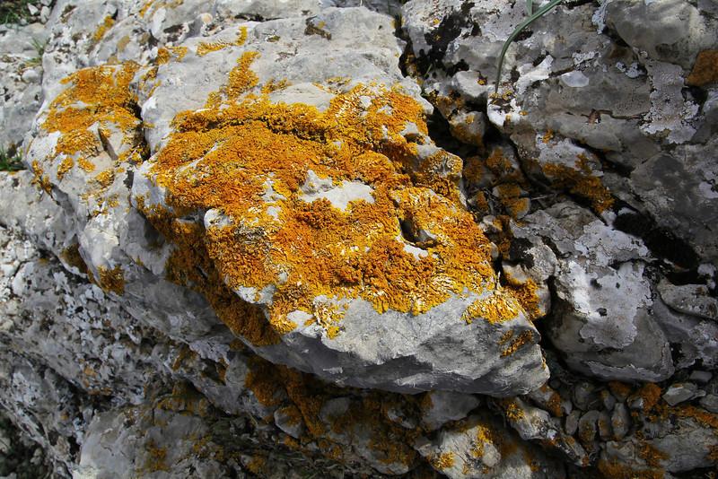 Xanthoria calcicola (NL:Oranje dooiermos) (orange) + several white lichen among with Aspicilia calcarea (NL:Plat dambordje), Col Reis 600m. Determination lichens by Kok van Herk
