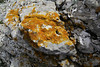 Xanthoria calcicola (NL:Oranje dooiermos) (orange) + several white lichen among with Aspicilia calcarea (NL:Plat dambordje), Col Reis 600m. Determination lichens by Kok van Herk