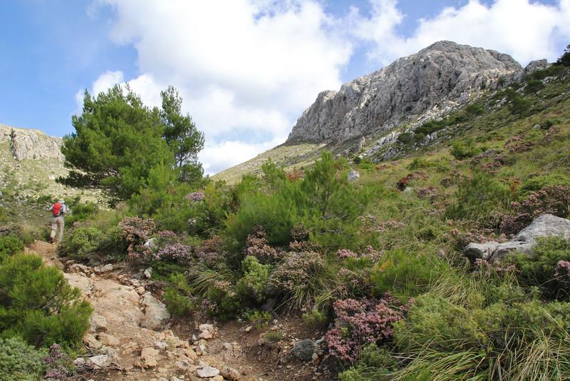 Erica multiflora,  GR 221 - Masanella 1365m