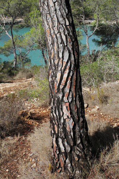 Trunk of Pinus brutia ssp. halepensis, Parque Natural Mondragó