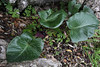 Arum pictum, Viewpoint, E of junction to Cala de sa Calobra, 600m