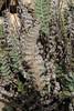Cheilanthes catanensis, Island, Parc Naturel de sa Dragonera, Liedó-des Liebeig