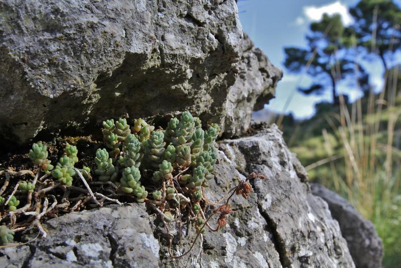 Sedum dasyphyllum, Prat de Cúber 650m - GR 221 - Masanella 1365m