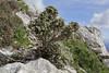 Santolina chamaeciparissus, Masanella 1365m
