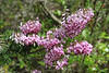 Erica multiflora, Recreation Area Memut 2, 500m E of Memut Binifaldo, Serra de Tramuntana, ca 1000m.