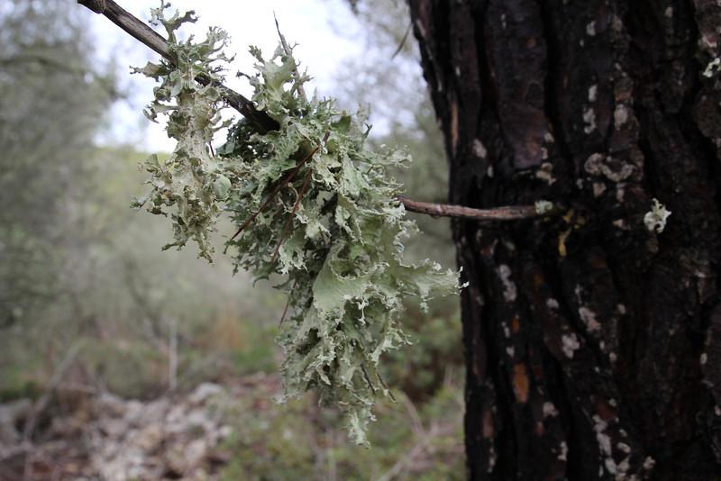 Ramalina fraxinea (NL: Groot takmos), Parque Natural Mondragó