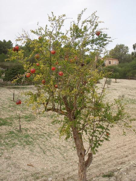 Punica granatum, North of Felanitx