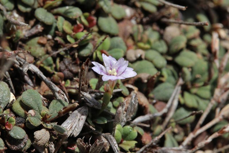 Limonium, which one? (Parque Natural Mondragó)