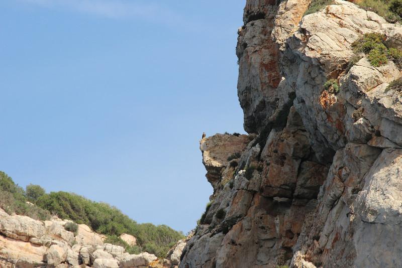 Falco eleonorae, near Cap Llebeitx, Island, Parc Naturel de sa Dragonera