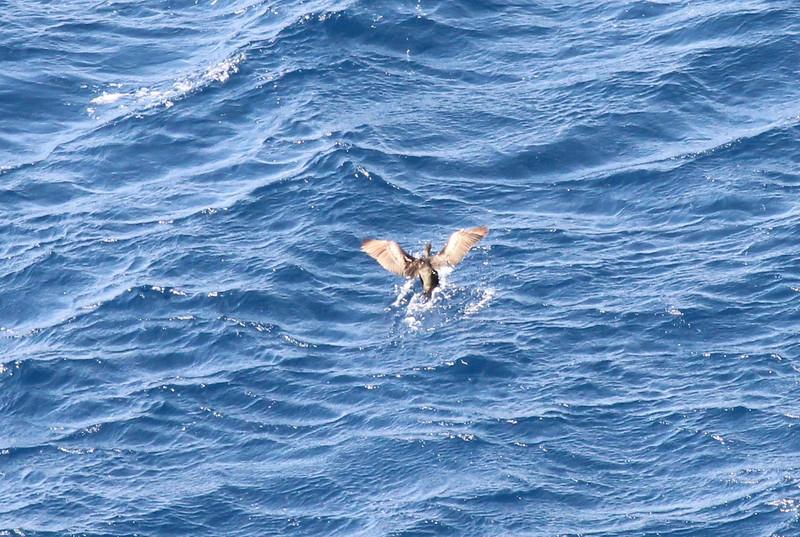 Phalacrocorax carbo, (NL: Aalscholver) near Cap Llebeitx, Island, Parc Naturel de sa Dragonera