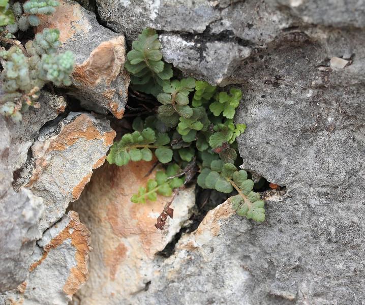 Asplenium fontanum?, La Reserva Puig de Galatzo 600m