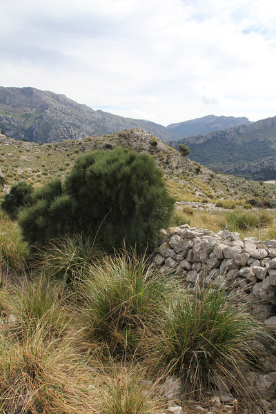 Ephedra fragilis ssp. fragilis, Col Reis 600m