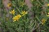 Inula crithmoides, Salobrar de Campa
