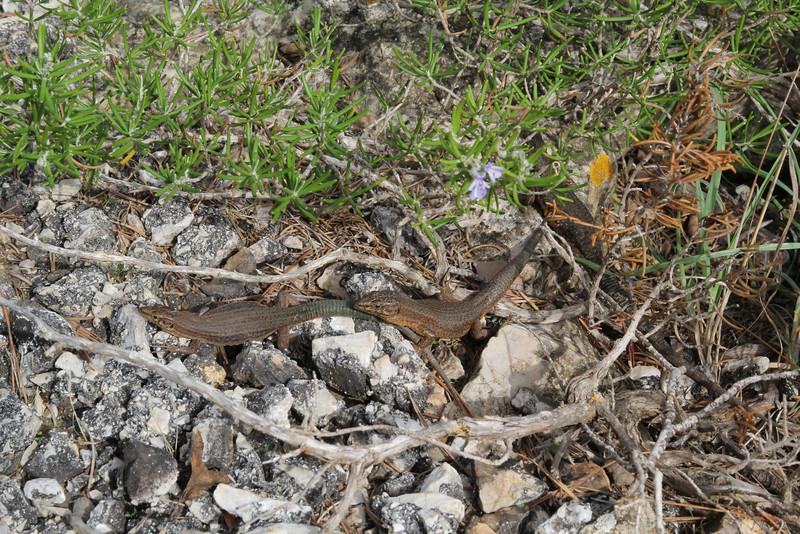 Podarcis lilfordi ssp gigliolii (endemic ssp of Sa Dragonera Island, Parc Naturel de sa Dragonera, Liedó-des Liebeig