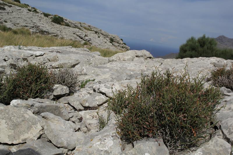 Smilax aspera var. balearica, Col Reis 600m
