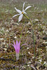 Colchicum filifolium (syn. Merendera filifolia) and Narcissus obsoletus, Song Gual ca 100m near MA15