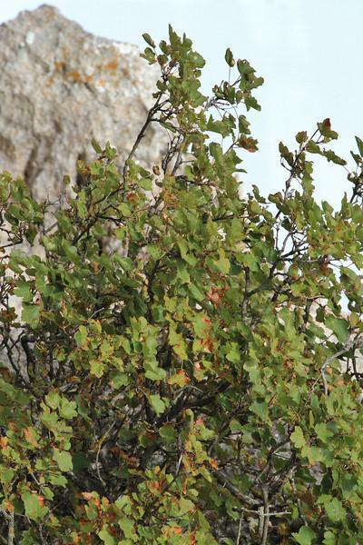 Acer granatense, endemic, Masanella 1365m - GR 221 - Prat de Cúber 650m