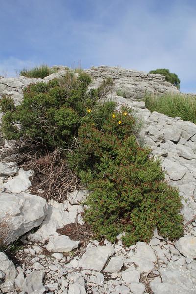 Hypericum balearicum, Col Reis 600m, Endemic to the Balearic Islands
