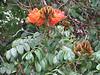 Spatodea campanulata (close up flowers)