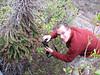 Echium wildpretii ssp. wildpretii