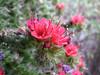 Echium wildpretii ssp. wildpretii (close up flowers)