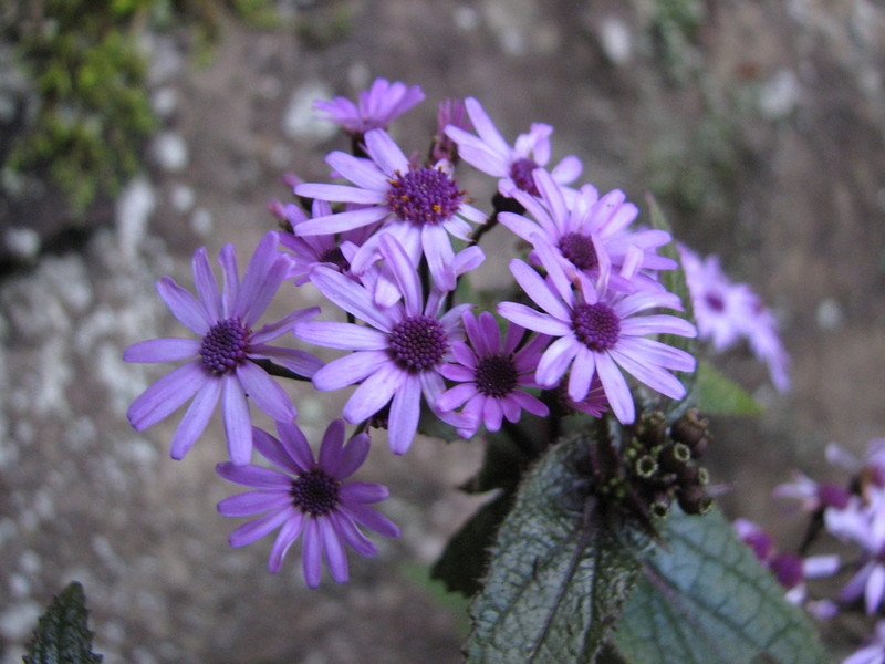 Pericallis cruenta, close up
