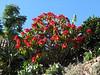 Euphorbia pulcherrima (non native plant)
