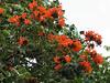 Spatodea campanulata (Exotic tree)