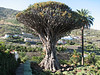 Dracaena draco (Iscod N.Tenerife)