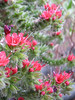 Echium wildpretii ssp. wildpretii (flowers)
